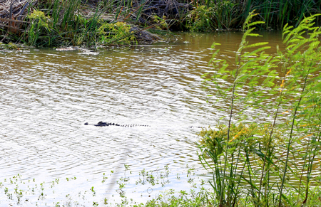 Wild alligator swimming in a river in Southern USA. Reklamní fotografie