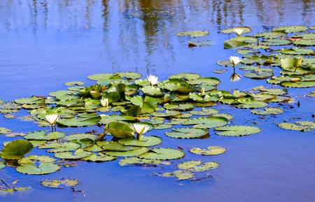 Water lillies in a blue pond in a calm serene scene.