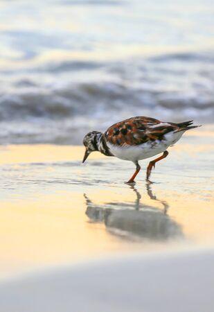 Small sandpiper bird is feeding on an ocean shore at sunset. Reklamní fotografie
