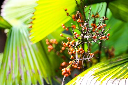 Green palm leaves and orange fruit.
