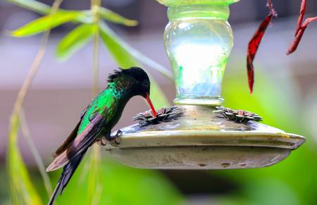 Humming bird drinking at a feeder.
