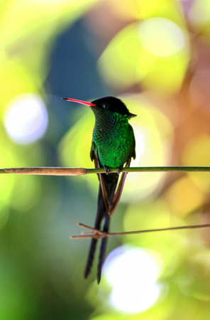 Green humming bird perching on a branch with beautiful colorful background.
