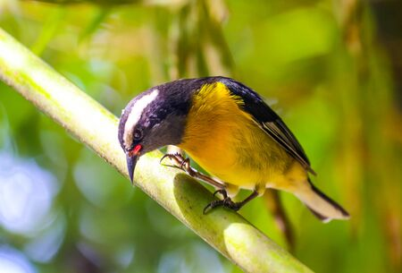 Small yellow bird with forest background.
