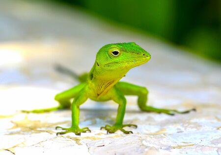 Green iguana lizard, posing for a closeup.