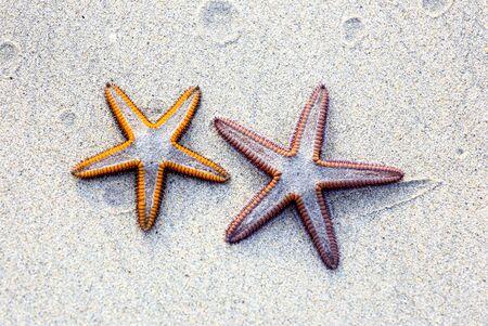 estrella de mar: Dos estrellas de mar sobre fondo de arena en una playa.