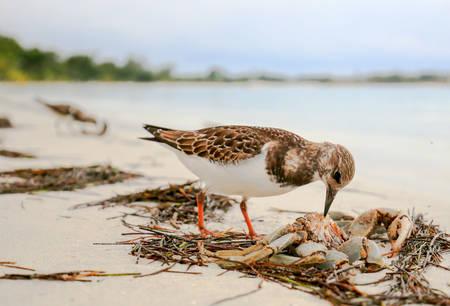 Sandpiper bird eating a crab on an ocean beach.