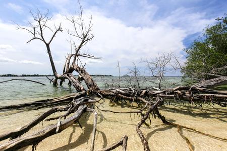 Mangrove tree roots on a tropical beach.