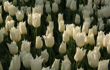 A park view that has white tulips