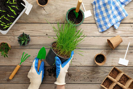 Female hands holding pot with grass on vintage wooden background. Gardening or planting concept. Working in the spring garden. Flat lay, top view.