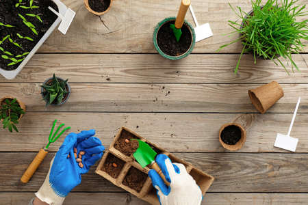Hands of gardener puts seed in peat container with soil, planting a plant with gardening tools. Gardening or planting concept. Working in the spring garden on vintage wooden table. Flat lay, top view.