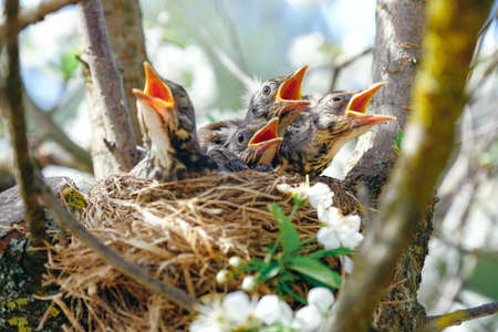Nestling birds sitting in their nest on blooming tree and waiting for feeding. Young birds with orange beak. Baby birds in spring.