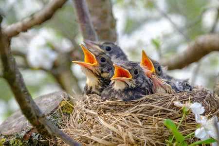 Group of hungry baby birds sitting in their nest with mouths wide open waiting for feeding. Young birds with orange beak cry, nestling in wildlife.