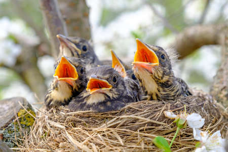 Group of hungry baby birds sitting in their nest with mouths wide open waiting for feeding. Young birds in nest concept.