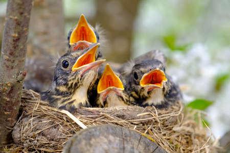 Bird brood in nest on blooming tree, baby birds, nesting with wide open orange beaks waiting for feeding.