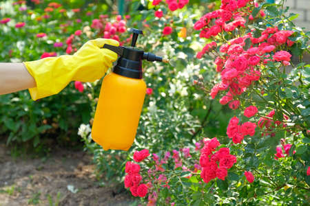 Woman with protective gloves spraying a blooming roses in garden. Using garden spray bottle with pesticides to control insects and plant diseases.