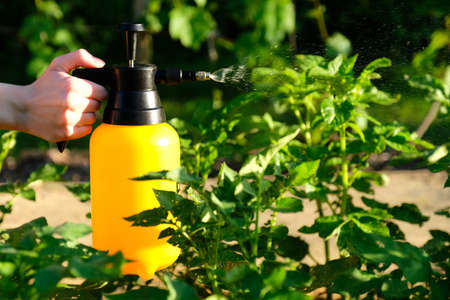 Woman hand holding garden sprayer bottle and spraying a potato stalks against plant diseases and pests. Use hand sprayer with pesticides in the garden. Stock Photo