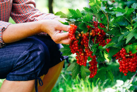 Farmer picking ripe red currant berries. Close-up view.
