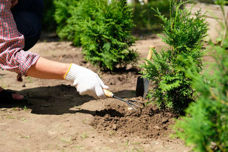 Farmer cultivate soil around thuja tree plant using garden rake