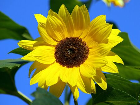 removed: Sunflower
