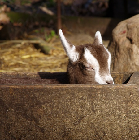 bleating: Domestic goat