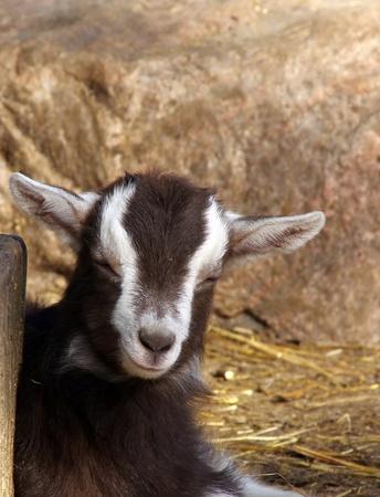 Domestic goat Stock Photo - 9321277