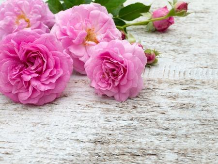 grabado antiguo: Rosas antiguas de color rosa y brotes en el fondo rústico blanco