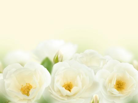 Wit rozenboeket op de vage achtergrond