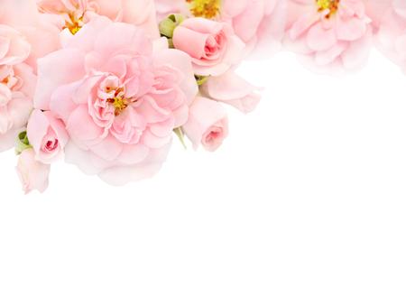 Lichtroze rozen en knoppen in de hoek van de witte achtergrond