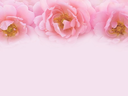 Three delicate pink roses on the pale pink background toned image 스톡 콘텐츠