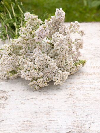 milfoil: Milfoil bouquet on the white rough painted background Stock Photo