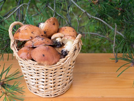 jacks: Slippery jacks mushrooms in the basket under pine tree on the planks background Stock Photo