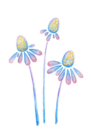 coneflowers: Purple blue daisy flowers of echinacea watercolor pencils drawing isolated on white