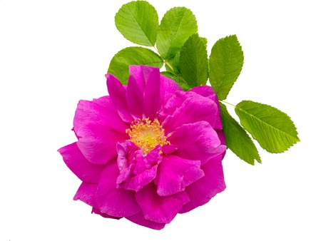 Pink rosa rugosa with leaves isolated on white