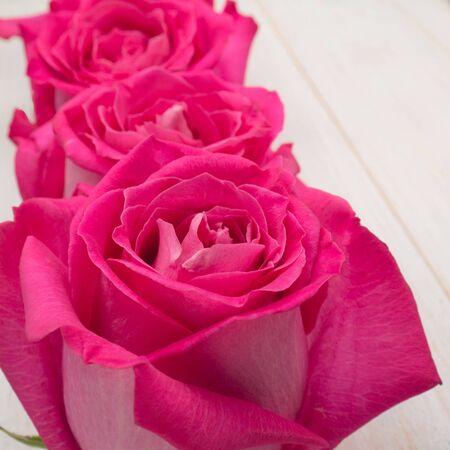 hybrid: Pink hybrid tea roses closeup