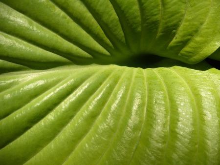 veins: Hosta leaf center with veins Stock Photo