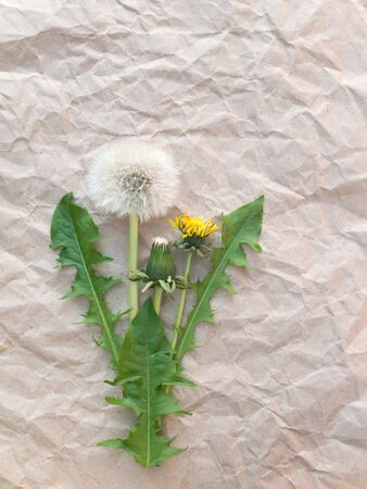 blowball: Dandelion flowers and blowball on the brown crumpled paper