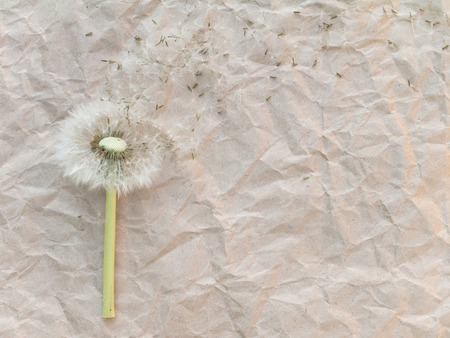 blowball: Dandelion blowball on the brown crumpled paper