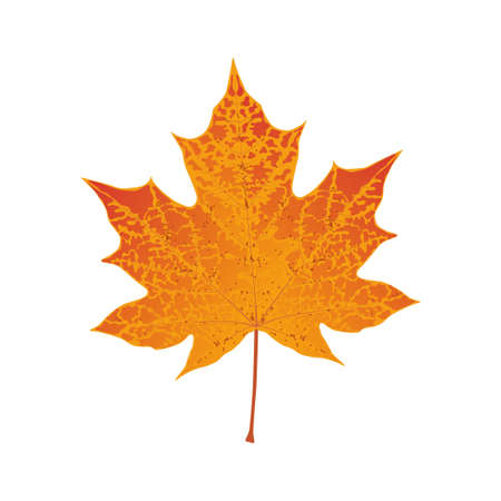 defoliation: Autumn colored red maple leaf illustration