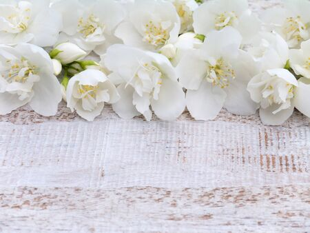 coronarius: Lovely sweet mock-orange flowers on the rustic white painted background