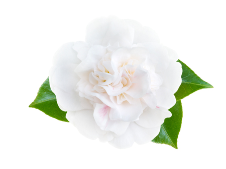 White camellia peony form flower with leaves isolated on white