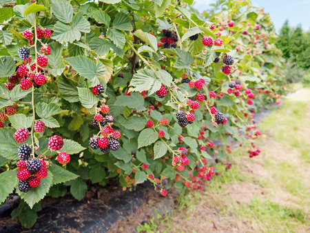 Ripe and red blackberries on the berry plantation Reklamní fotografie - 83782017