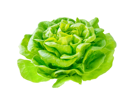 Lettuce salad rosette head with water drops side view isolated on white