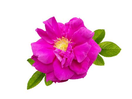 Dark magenta rugosa rose flower isolated on white