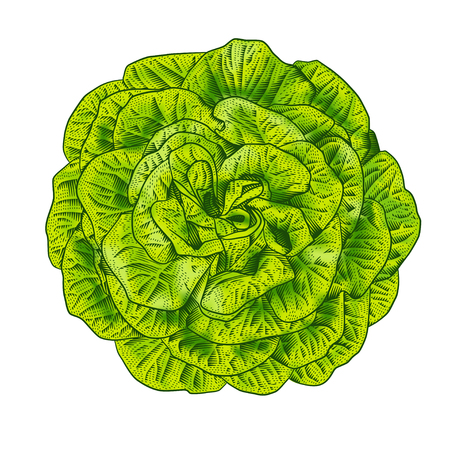 Green lettuce salad head top view.  Vintage engraving style vector illustration.