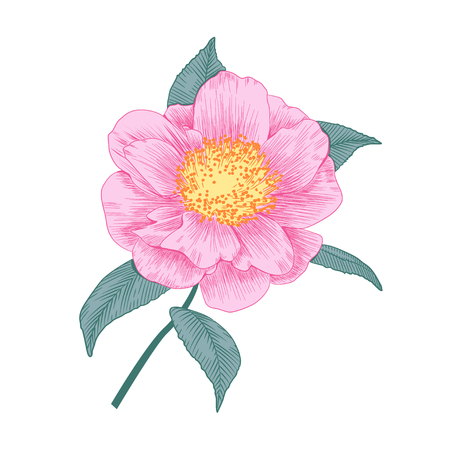 Pale pink camellia Japonica semi double form flower with leaves hand drawn vector illustration.