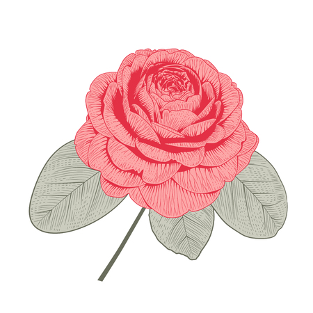 Red camellia Japonica rose form flower with leaves hand drawn vector illustration. Çizim