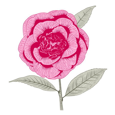 Bright pink camellia Japonica peony form flower with leaves hand drawn vector illustration. Illustration