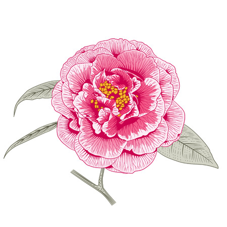 Multicolored pink camellia Japonica rose double form flower with leaves hand drawn vector illustration.