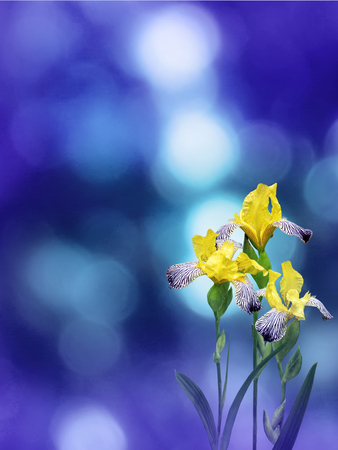 Yellow iris flowers on the violet blue blurred bokeh ba Stock Photo