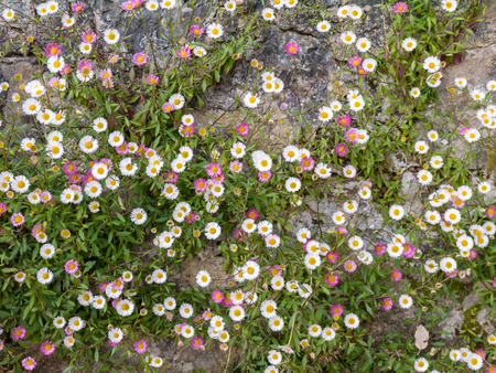 White and pink Spanish daisy flowers on the old stone wall background